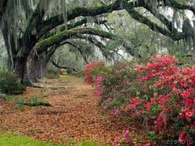 Azaleas and Live Oaks_Charleston