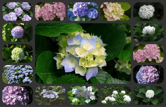 Collage hortensias ou hydrangeas