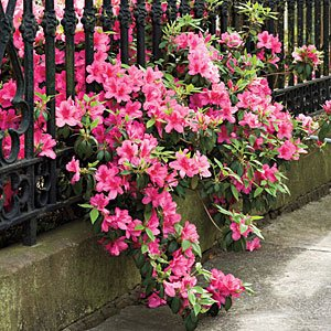 azaleas-fence-m