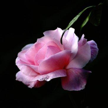 rosa05