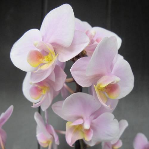 orquidea-borboleta-rosa-phalaenopsis